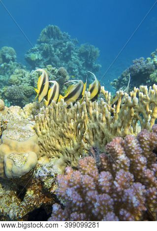 Colorful Coral Reef At The Bottom Of Tropical Sea, Shoal Of Schooling Bannerfish (heniochus Diphreut