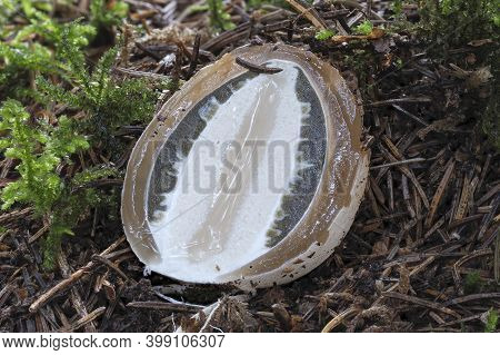 The Stinkhorn (phallus Impudicus) Is A Jung Edible Mushroom