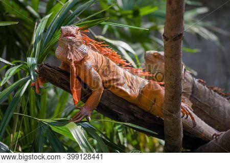 Common Iguana (iguana Iguana) On A Dry Tree