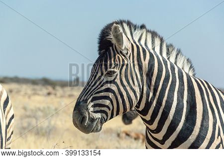 Close-up Of The Head Of A Burchells Zebra, Equus Quagga Burchellii, In Northern Namibia