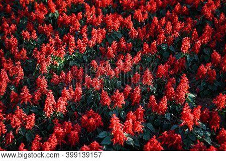 Salvia Flowers In The Garden, Beautiful Blooming Flowers Red Salvia (salvia Splendens)