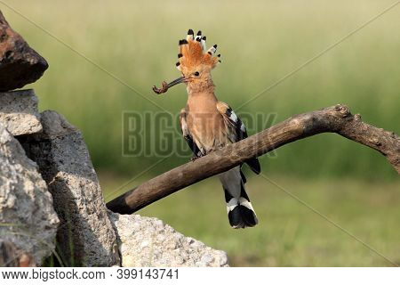 The Hoopoe (upupa Epops) With A Worm In Its Beak For The Nest. Yellow Bird With A Tuft And A Worm In