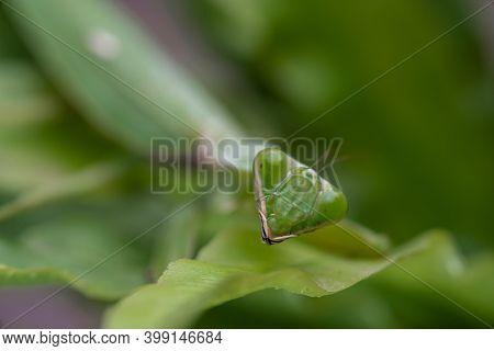 Mantis On The Green Leaf. African Mantis, Giant African Mantis Or Bush Mantis.