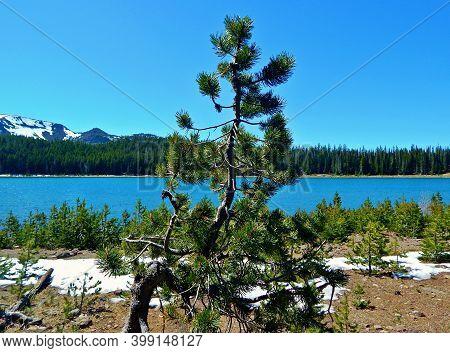 June Jack Pine - A Pine Tree Scene In Late Spring At Three Creek Lake - Cascade Range - South Of Sis