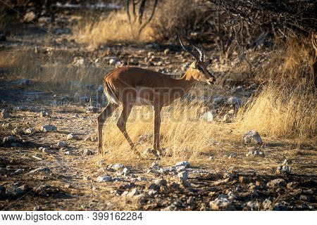 Black-faced Impala Stands In Grassland Among Rocks