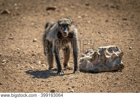 Chacma Baboon Crouches By Salt Eyeing Camera