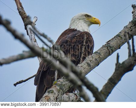 Bald Eagle Perched In Tree: American Symbol Bald Eagle Perched Among Bare Tree Branches Looks Off To