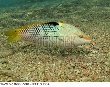 Checkerboard Wrasse (halichoeres Hortulanus). Taking In Red Sea, Egypt.