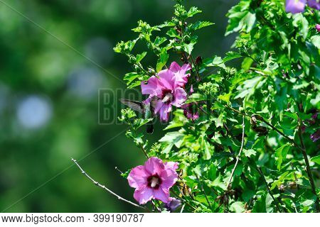 Ruby-throated Hummingbird Hovers At Hibiscus Flower Bloom Gathering Nectar