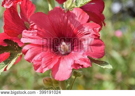 Mallow Flower (alcea Rosea), From The Red Petals Dyes And Dyes Are Extracted For Food, Particularly