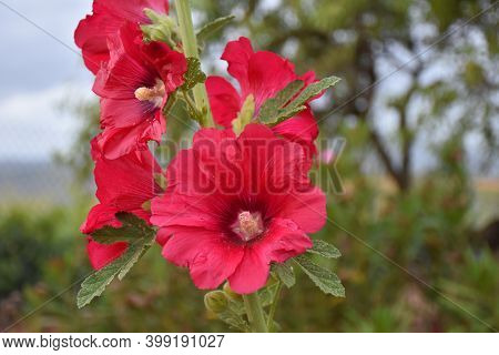 Royal Mallow Flowers (alcea Rosea), Are Emollient, Expectorant, Slightly Laxative, Demulcent And Diu