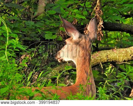 Deer In The Woods: A White-tailed Female Doe Deer Looks Away With Ears Up In A Cautious And Alert Lo