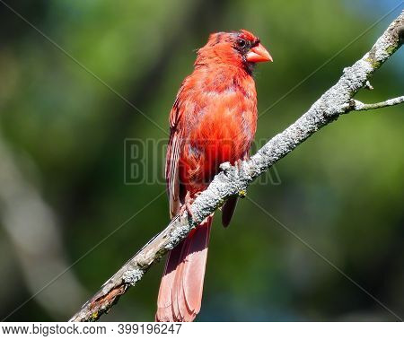 Molting Male Northern Cardinal Bird Bright Red With Bald Black Head Perched On A Bare Tree Branch Wi