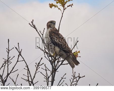 Red Tailed Hawk Perched On Branch: Gorgeous Bird Of Prey Raptor Perched High On Tree Top On Bare Bra