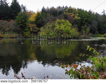 Geese On Lake In Autumn: Canadian Geese Birds Waterfowl Swim Across A Beautiful Autumn Scene On The