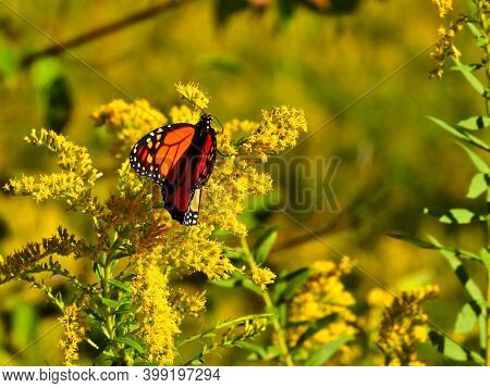 Monarch Butterfly Eating A Goldenrod Yellow Wildflower With Antennas Stretched Out And Orange And Bl