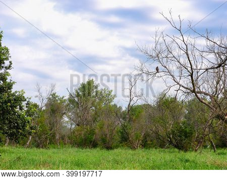 Red-tailed Hawk Bird Is Perched In Bare Tree Over Luscious Green Forest Meadow Landscape View With B