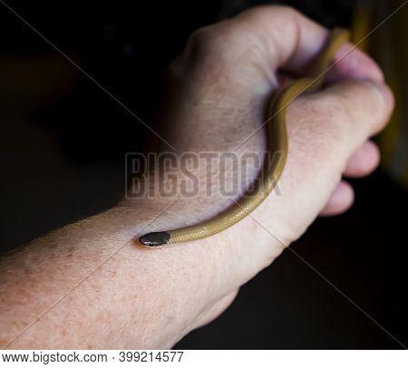 Hand Holding Tiny Blackhead Snake Close Up In Arizona.