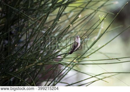 Female Black Chinned Hummingbird Perched Delicately On A Green Bush In Arizona.  Quiet, Watchful Sta