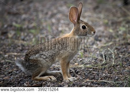 A Young Antelope Jackrabbit Is Watchful In Close Up Profile.