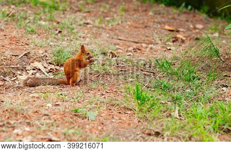 Squirrel Sits On The Ground And Nibbles Nuts