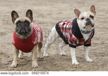 Piebald And Fawn Female Frenchies Dressed Up And Posing At The Beach