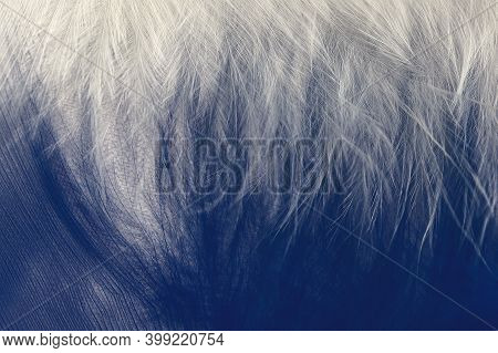 Downy Part Of The Feather. Chickens Feather Textures For Background, Fantasy, Abstract, Soft Color.