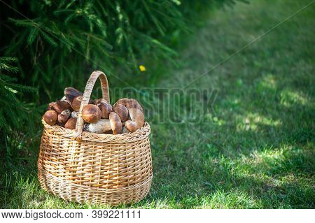 Basket With Chic Porcini Mushrooms On A Natural Forest Background, Space For Text