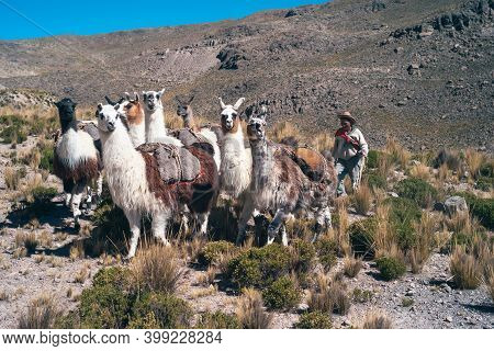 Chivay, Peru - July 21, 2010: Andean Herder With Llama Herd As Pack Animals, A Traditional Peruvian