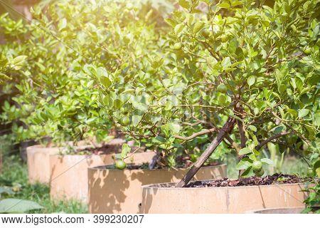 Green Lemon Lime On Tree In Garden,fresh Lime Green On The Tree With Light Bokeh Background