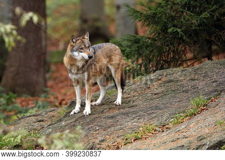 The Gray Wolf Or Grey Wolf (canis Lupus) Standing On A Rock. An Adult Grey Wolf Stands On A Rock In