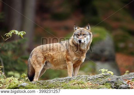 The Grey Wolf Or Gray Wolf (canis Lupus) Standing On A Rock. A Large Wolf Stands High On A Rock In A
