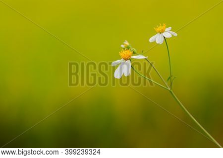 Partial Focus Of Spanish Needles Or Bidens Alba Flowers On Blurred Yellow And Green Background.