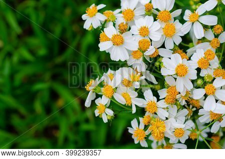 Partial Focus Of Spanish Needles Or Bidens Alba Flowers On Green Grass Background.