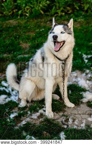 A Well-groomed Husky Sits On The Grass, Its Time To Shed The Hair Of Dogs, A Lot Of Hair Around.