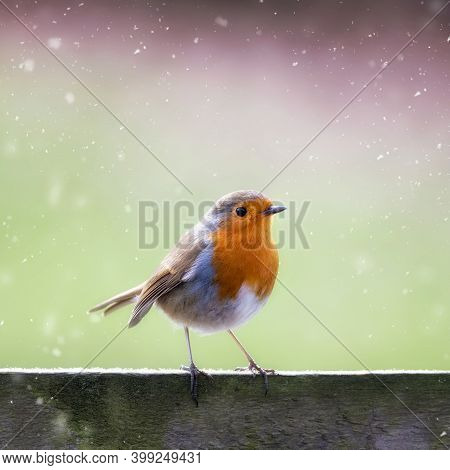 Robin, Erithacus Rubecula, In The Falling Snow, Perched On Wooden Fence With Space For Text. Festive