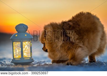 Pomeranian Spitz Dog Posing With Christmas Lantern And Lights On The Beach In Winter At Sunset