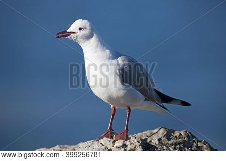 Hartlaub's Gull Or King Gull, Larus Hartlaubii, Adult Standing On Rock, Hermanus In South Africa