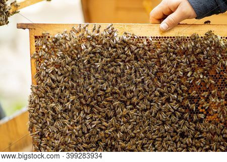 The Beekeeper Looks After Honeycombs. Apiarist Shows An Empty Honeycomb. The Beekeeper Looks After B