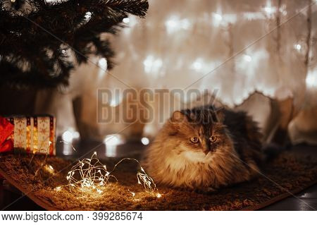 Cute Beautiful Pet Gray Striped Cat Lying On A Red Blanket Under The Christmas Tree With Christmas G