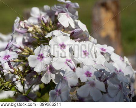 White Flame Flowers Of Phlox. Flowering Garden Phlox, Perennial Or Summer Phlox In The Garden On A S