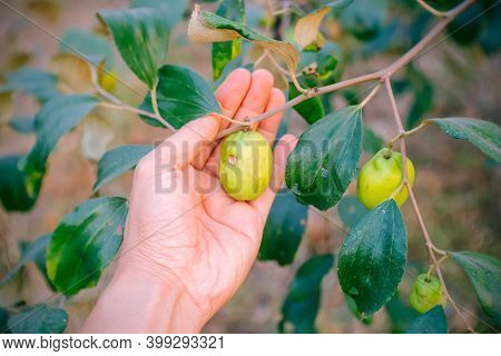 Men Carry Fresh Jujube In The Garden, Ready To Be Sold Or Eaten. Fresh Jujube Fruit In The Garden. S