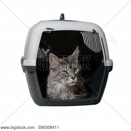 Portrait Of Maine Coon Gray Cat Inside A Plastic Cage