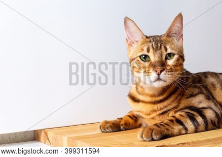 Amazing Bengal Cat Resting On Table. Unique Spotted Domestic Cat. Copy Space On Left Side.