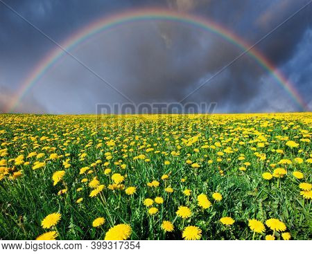 dandelion field under cloudy sky with rainbow