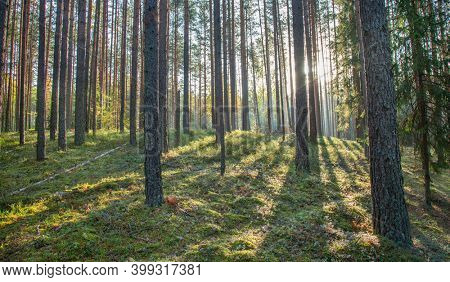 Pine forest at sunrise time