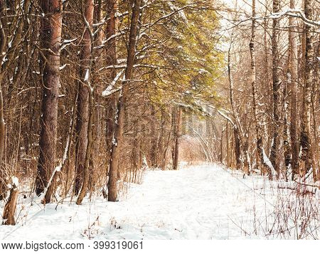 Winter Walking Path In Forest. Snowy Weather In Wood At Sunny Day. Pine Trees After Snowfall. Natura