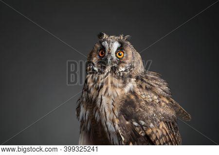 Beautiful Eagle Owl On Grey Background. Predatory Bird