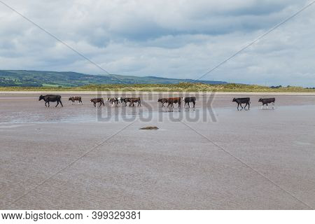 cows walking on a sandy beach along the shoreline in Northern Ireland in the United Kingdom.
