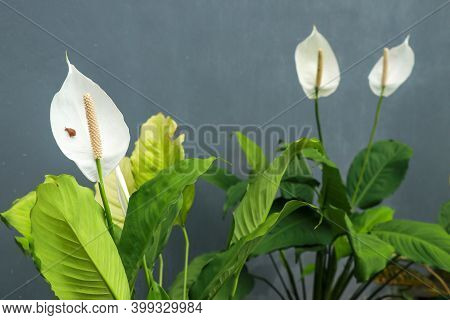 Closeup Of Plant And Flower Of Cala Zanteschia Or Argentine Water Lily. Calla Lilies On Gray Backgro